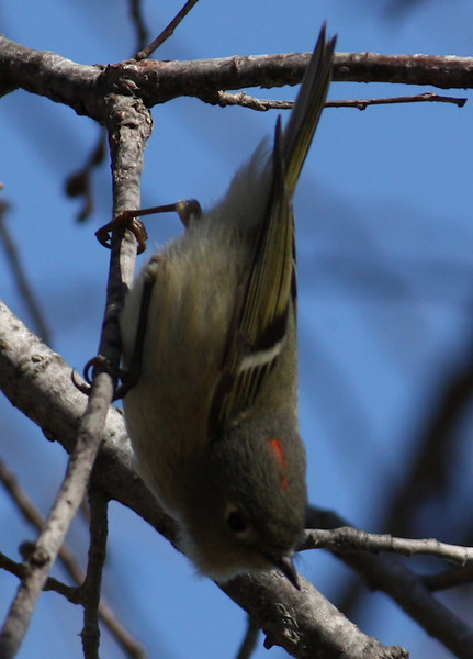 A ruby-crowned kinglet (Regulus calendula) hanging upside-down in a tree (2009_02_03_006375)