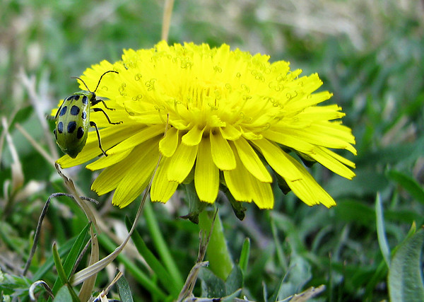 A spotted cucumber beetle (Diabrotica undecimpunctata) makes its ascent over the petals of a common dandelion (Taraxacum officinale) (20080301_02425)