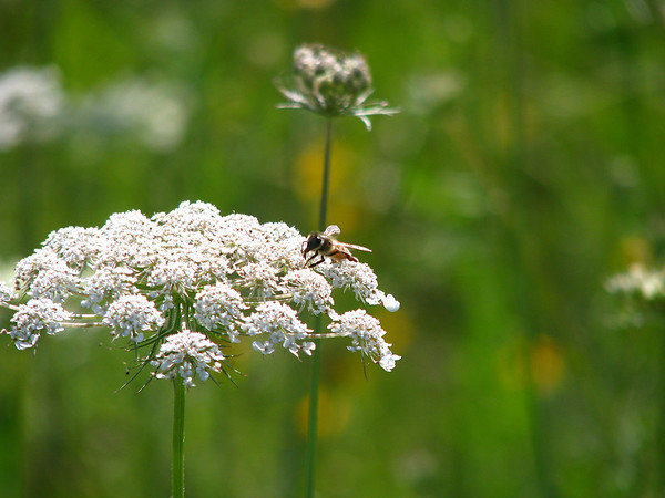 A western honey bee (a.k.a. European honey bee; Apis mellifera) resting atop a full bloom of wild carrot (a.k.a. bishop's lace or Queen Anne's lace; Daucus carota) (20080518_05549)
