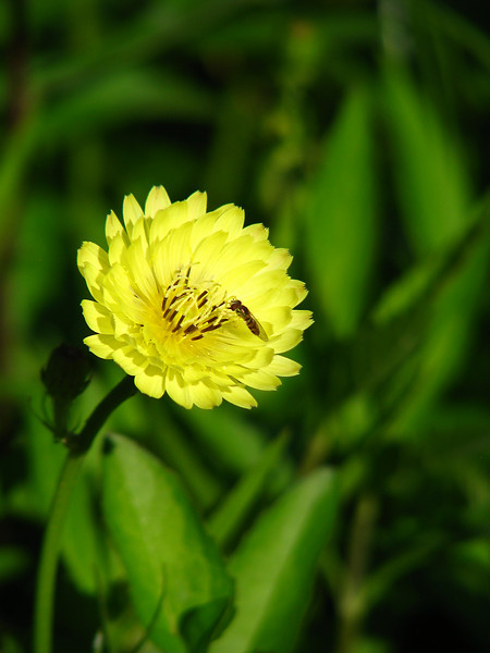 A syrphid fly (a.k.a hover fly; Toxomerus marginatus) feeding on the pollen of a Texas dandelion (a.k.a. false dandelion, Carolina desert-chicory, leafy false dandelion or Florida dandelion; Pyrrhopappus carolinianus) (20080518_05376)