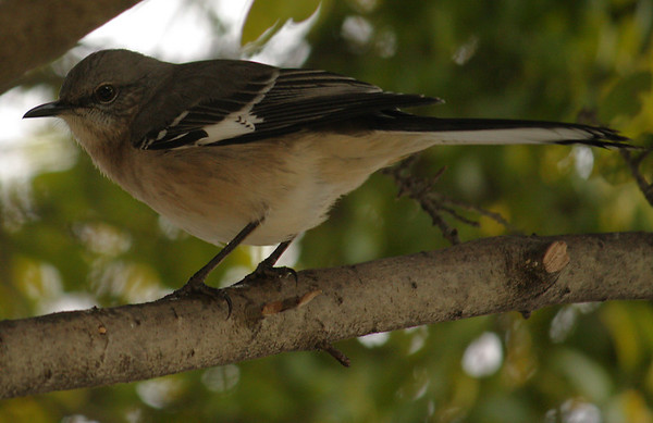 A northern mockingbird (Mimus polyglottos) perched in a tree (2008_12_17_002579)