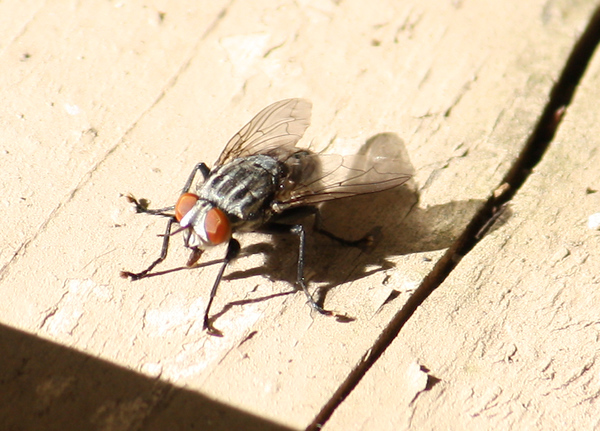 A friendly fly (a.k.a. government fly or large flesh fly; Sarcophaga aldrichi) sunning on the patio fence (2009_01_07_004240)