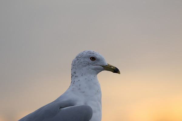 A ring-billed gull (Larus delawarensis) enjoying the sunset (2009_02_13_008419)