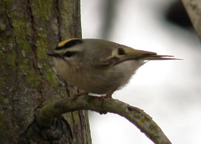 A golden-crowned kinglet (Regulus satrapa) perched on a branch (2009_01_17_004303)