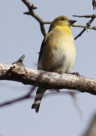 A nonbreeding male American goldfinch (Carduelis tristis) perched in a tree (2009_01_17_004505)
