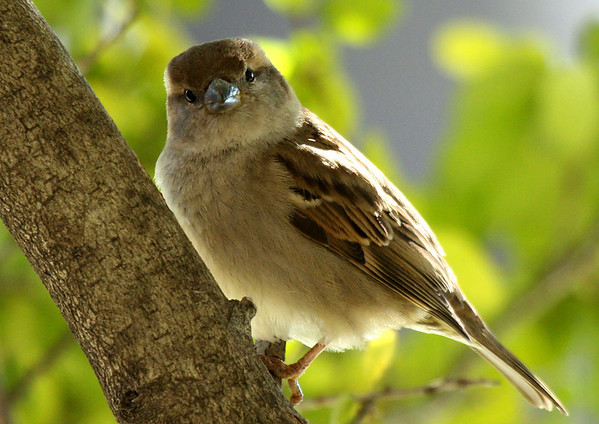 A female house sparrow (Passer domesticus) perched in a tree (2009_02_15_009963)