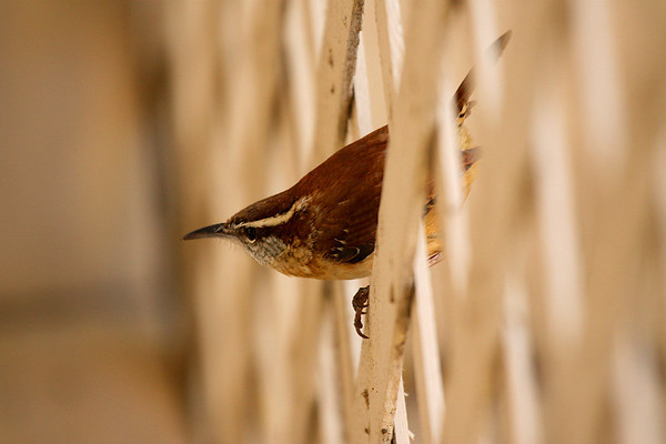 A Carolina wren (Thryothorus ludovicianus) perched on the patio fence (2009_02_15_009973)