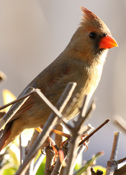 A female northern cardinal (Cardinalis cardinalis) perched in the shrubs outside my patio (2009_02_20_010294)