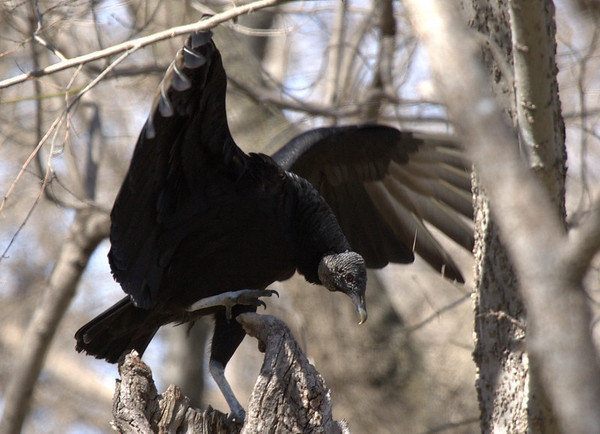 An American black vulture (a.k.a. black vulture; Coragyps atratus) with wings out as it changes positions (2009_02_22_010977)