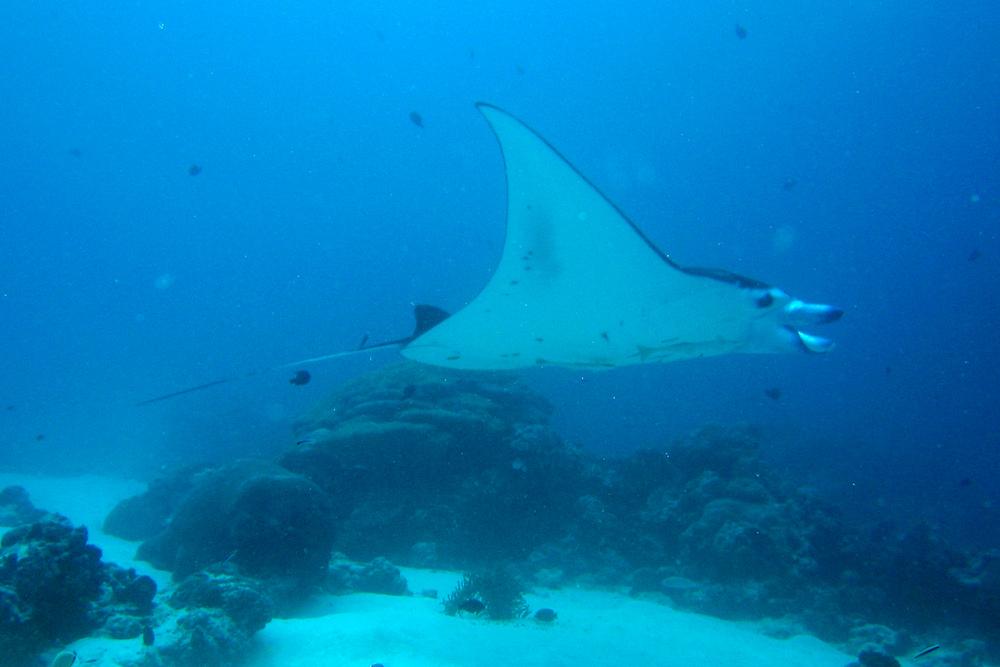 Manta Ray in Palau