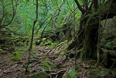 Cedar Forest of Yakushima