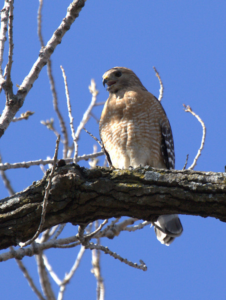 A female red-shouldered hawk (Buteo lineatus) perched in a tree (2009_02_22_010494)
