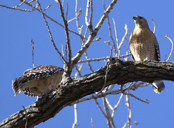 Male and female red-shouldered hawks (Buteo lineatus) perched in a tree (2009_02_22_010496)