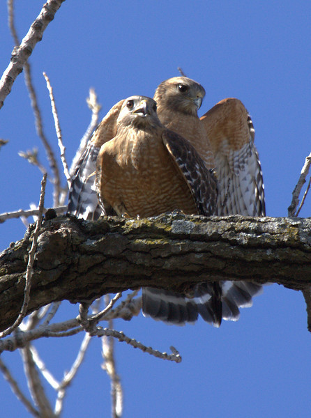 Red-shouldered hawks (Buteo lineatus) mating in the treetops (2009_02_22_010498)