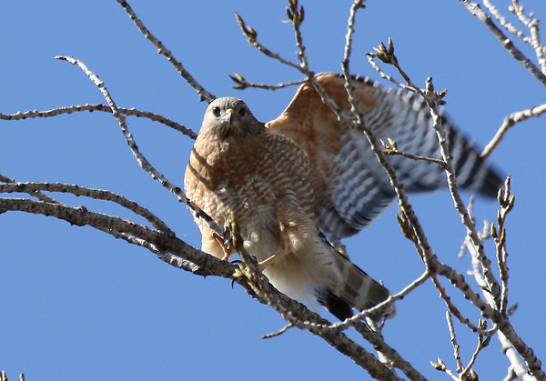 A female red-shouldered hawk (Buteo lineatus) perched in the treetops (2009_02_22_010505)
