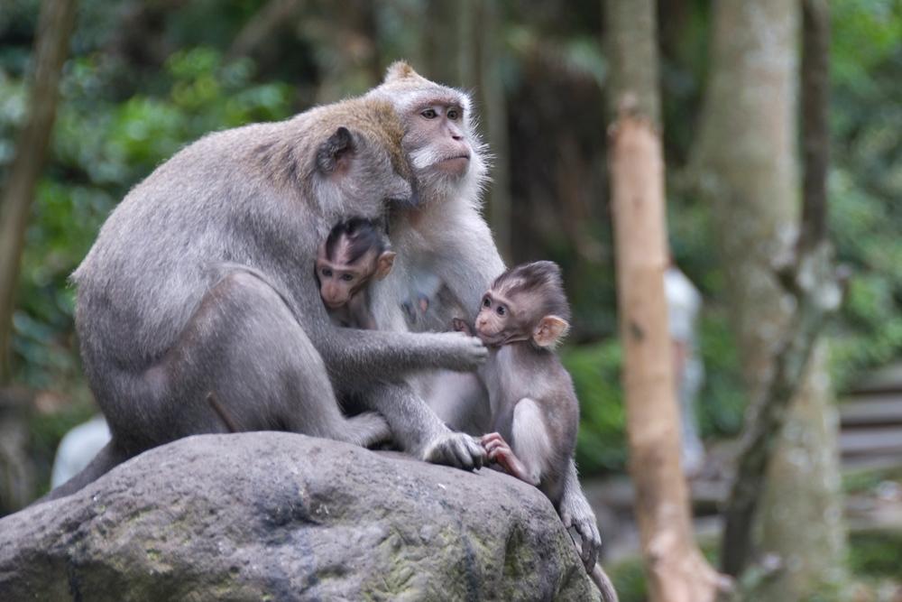 Monkey family in Ubud Monkey Temple
