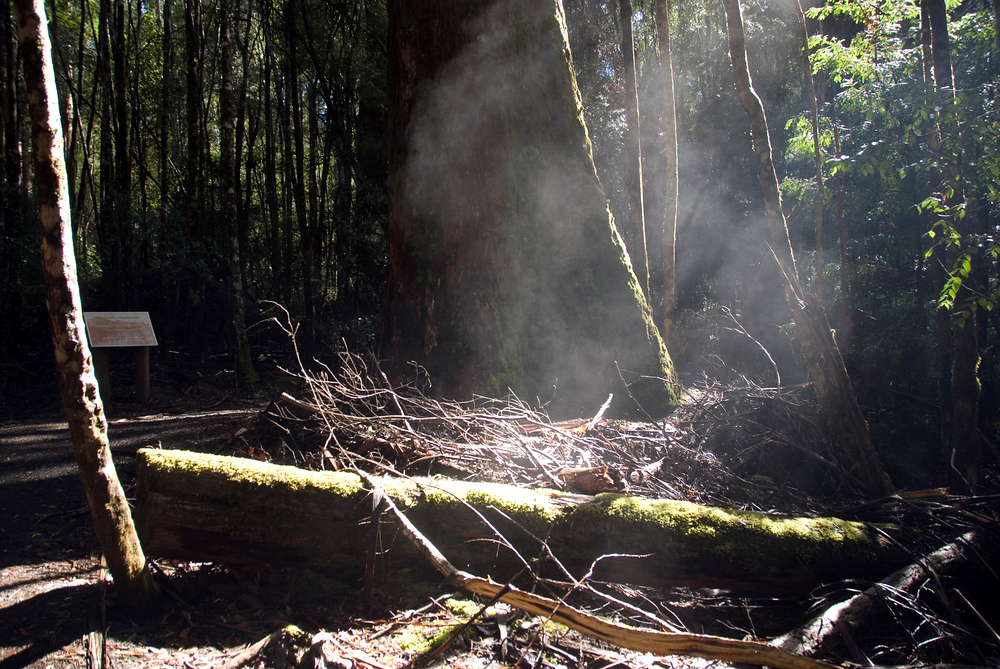 Steam coming off the forest floor. Mount Field National Park. Tasmania, Australia