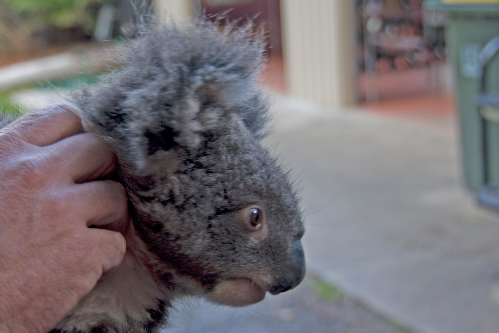 Koala in Tasmania petting zoo