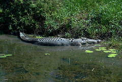 CRIKEY! Look at the size of that croc! He's looking for bush tucker!