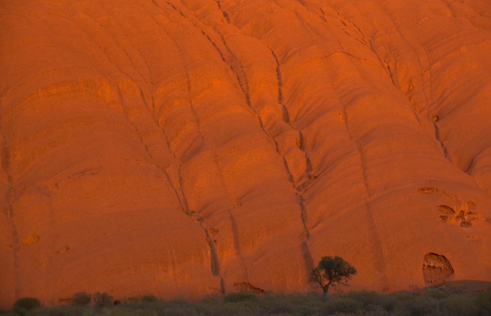 Lone tree and Uluru. Ayers Rock, Australia