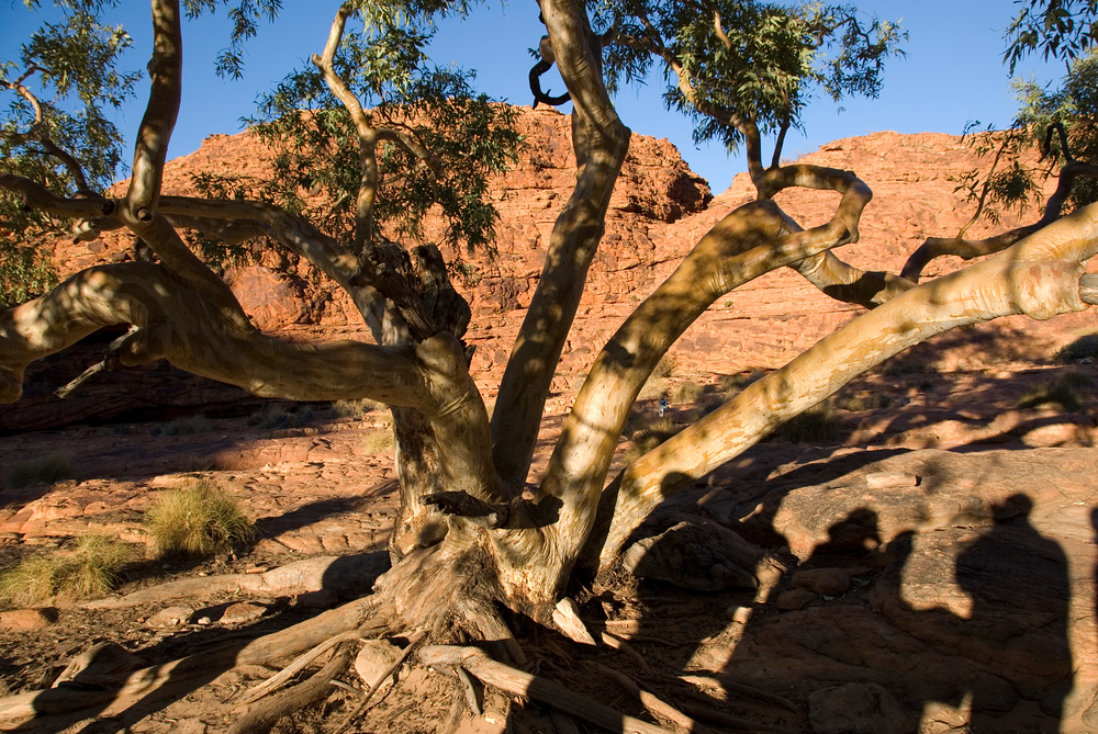 Gum tree in Kings Canyon, Australia
