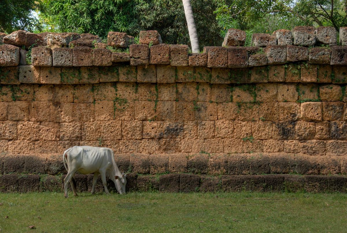 Cow in Wat Atewa, Angkor, Cambodia