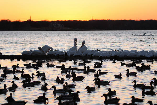American white pelicans (Pelecanus erythrorhynchos) line the sandbar at sunset while a plethora of waterfowl swim in the bay (2009_02_18_010197)