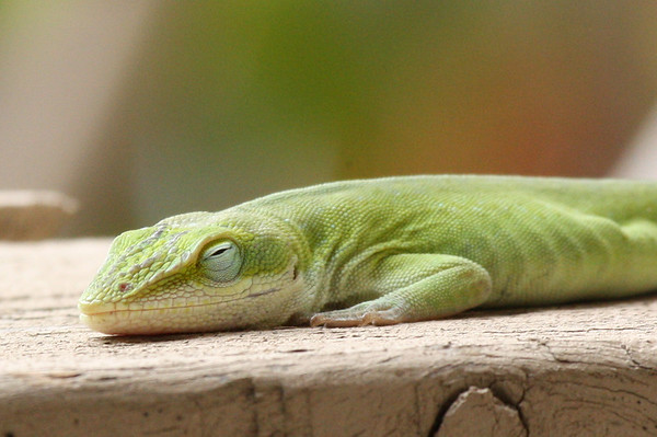 A green anole (Anolis carolinensis) sleeping on the patio fence (2009_03_07_012402)