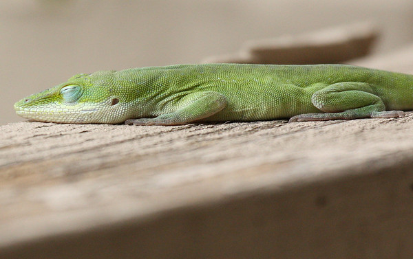 A green anole (Anolis carolinensis) sleeping on the patio fence (2009_03_07_012417)