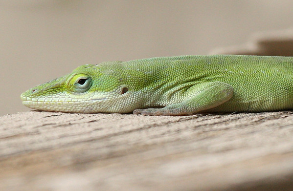 A green anole (Anolis carolinensis) watching me from atop the patio fence (2009_03_07_012419)