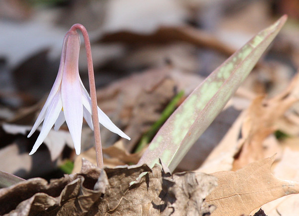 A white fawnlily (a.k.a. white trout lily; Erythronium albidum) in dappled sunlight (2009_02_22_010626)
