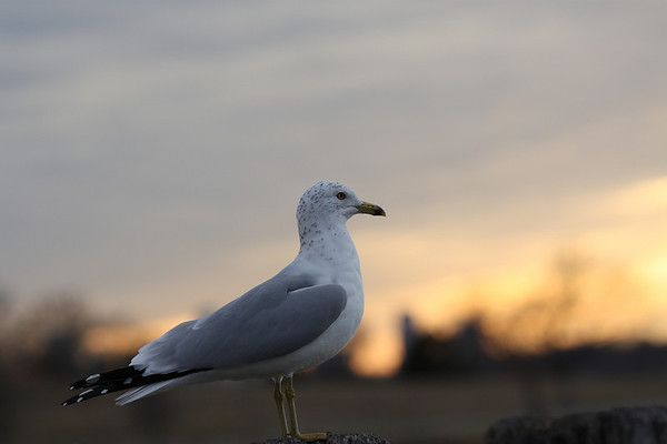 A ring-billed gull (Larus delawarensis) at sunset (2009_02_13_008424)