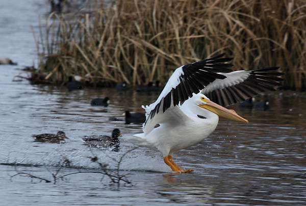 An American white pelican (Pelecanus erythrorhynchos) landing on the water (2009_02_14_008604)