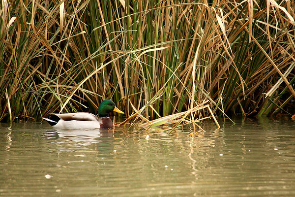 A mallard drake (Anas platyrhynchos) rests at the base of a reed bed (2008_12_25_003334)