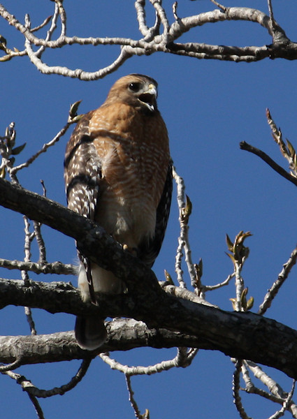A female red-shouldered hawk (Buteo lineatus) calling out from the treetops (2009_02_03_006168)