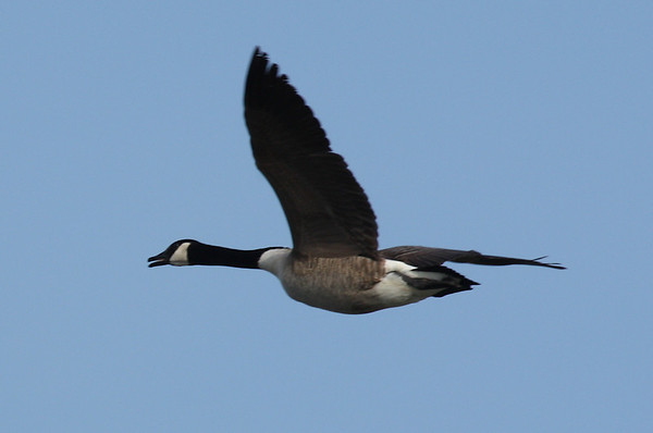 A Canada goose (Branta canadensis) flying overhead (2009_03_21_013079)