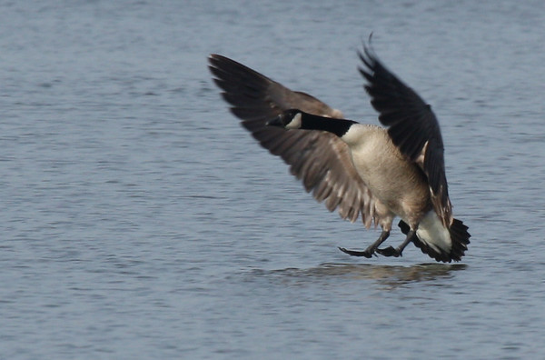 A Canada goose (Branta canadensis) landing in White Rock Lake (2009_03_21_013085)
