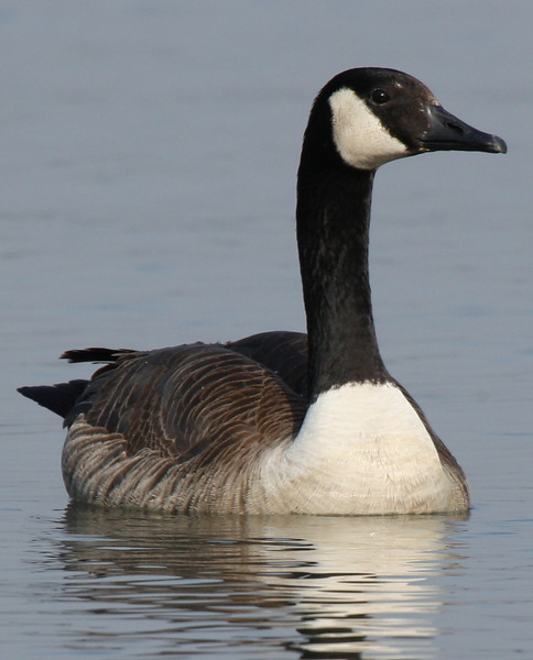 A Canada goose (Branta canadensis) swimming near shore (2009_03_21_013130)