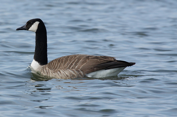 A Canada goose (Branta canadensis) swimming near shore (2009_03_21_013423)