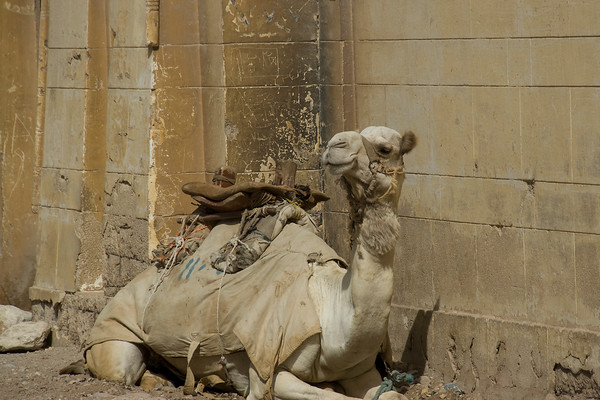 Camels: the source of all trouble at the pyramids