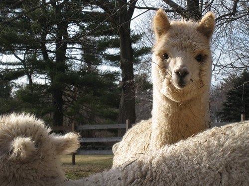 alpaca staring at a 2-legged creature
