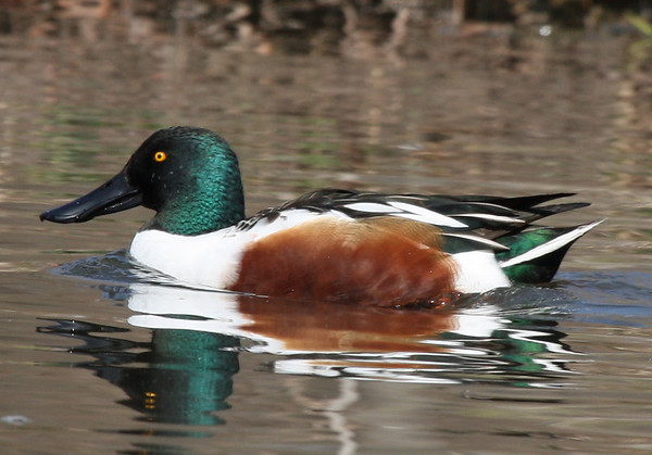 A male northern shoveler (Anas clypeata) swimming along a creek (2009_02_15_009858)
