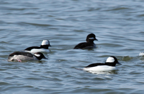 Buffleheads (Bucephala albeola) swimming in a group (2009_02_15_009427)