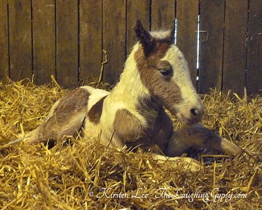 gypsy sport horse colt