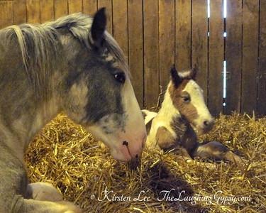 newborn gypsy sport horse foal