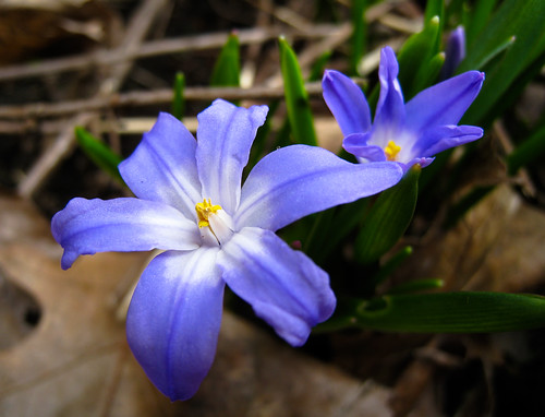 spring flowers in a shade of blue