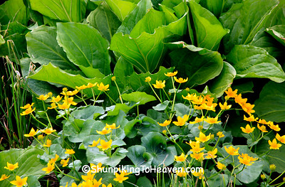 Marsh Marigolds and Skunk Cabbage, Sauk County, Wisconsin