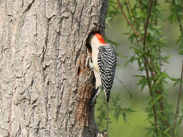 A female red-bellied woodpecker (Melanerpes carolinus) with her head inside the nest (2009_03_21_013225)