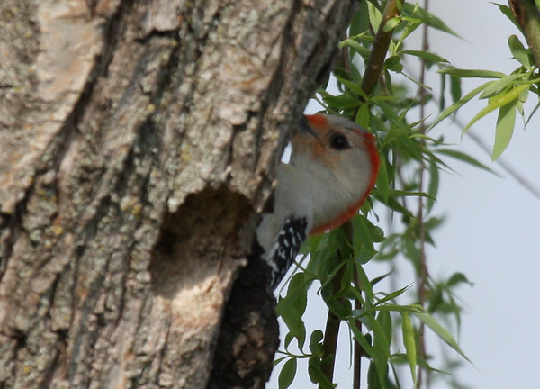 A female red-bellied woodpecker (Melanerpes carolinus) peeking at me from around the tree (2009_03_21_013232)