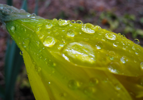raindrops on a bright yellow daffodil